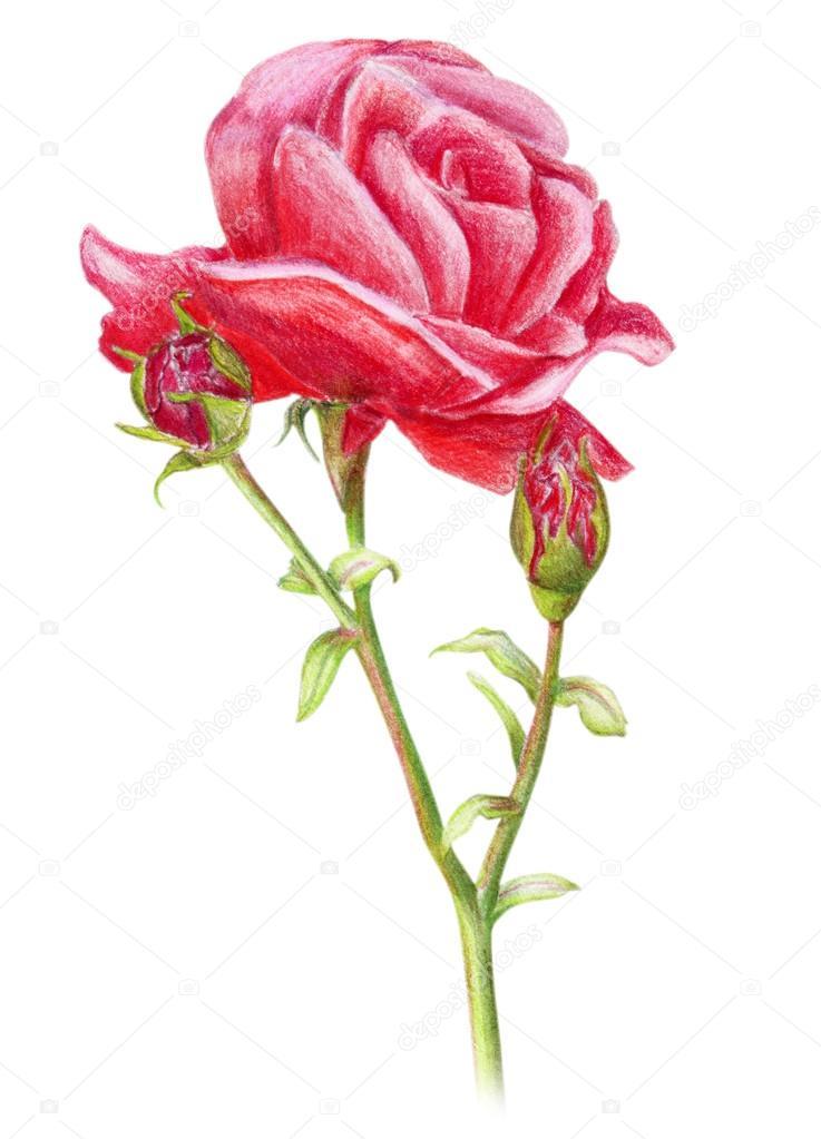 Drawn red rose plant Drawn rose Hand Stock drawn