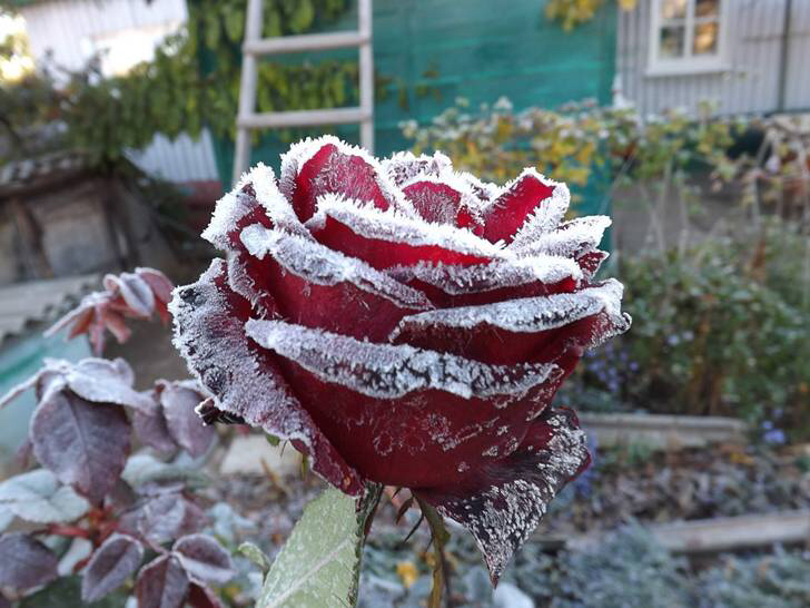 Drawn red rose pretty flower And More Frozen Flowers Frozen