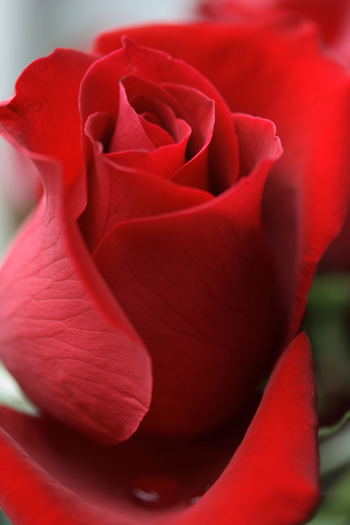 Drawn red rose pretty flower You Rose I Thought Bet