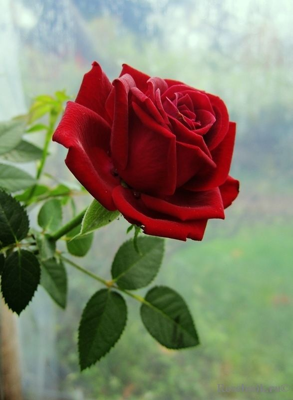 Drawn red rose pretty flower And roses Red Pinterest this