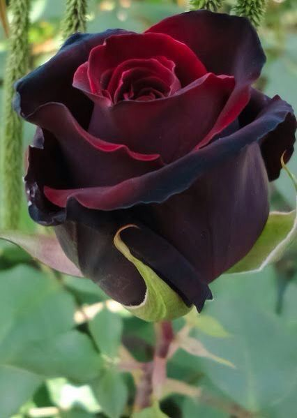 Drawn red rose purple rose Best 118 more Pinterest on