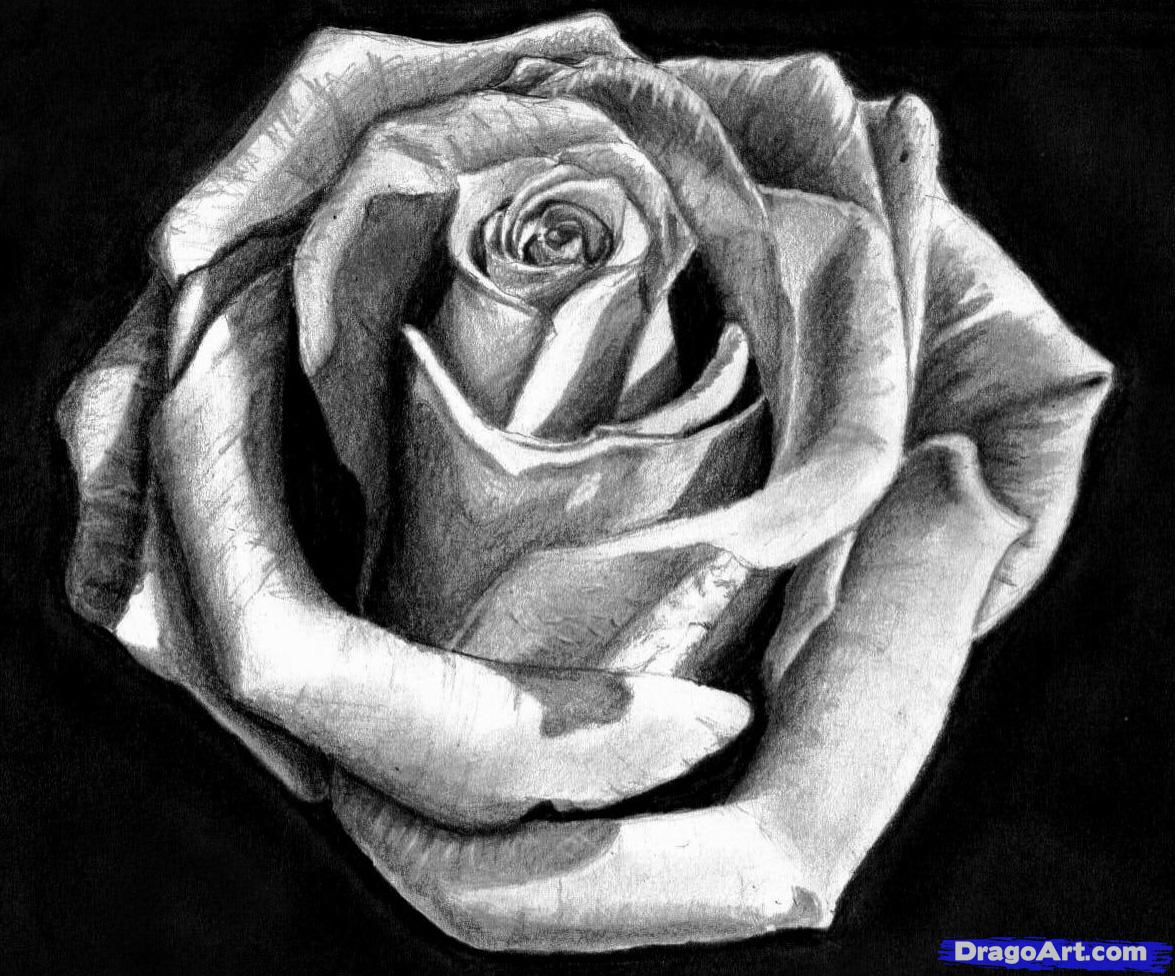 Drawn rose pencil for kid Realistic Rose Realistic Red Drawing