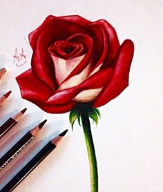 Drawn rose color Rose •  be to