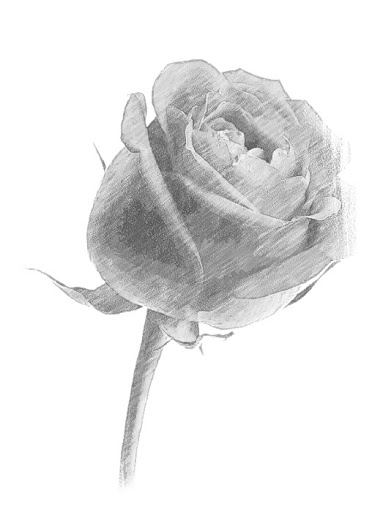 Drawn red rose shaded Important right shades and a