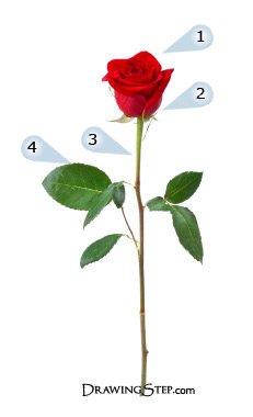 Drawn rose red rose flower To pas Draw red pas