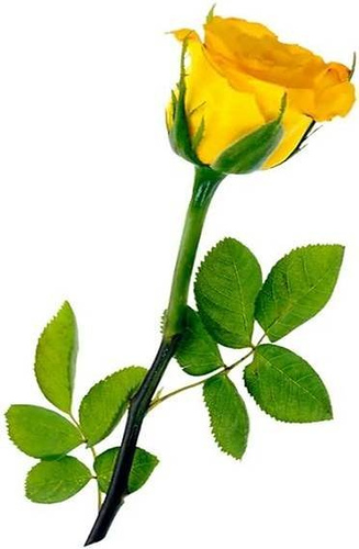 Drawn red rose yellow rose White Rose Red picture flower