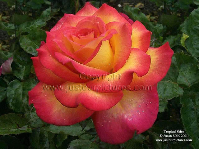 Drawn red rose yellow rose Search Images roses Google red