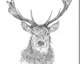 Drawn reindeer majestic Drawing Stag Blank Majestic Card