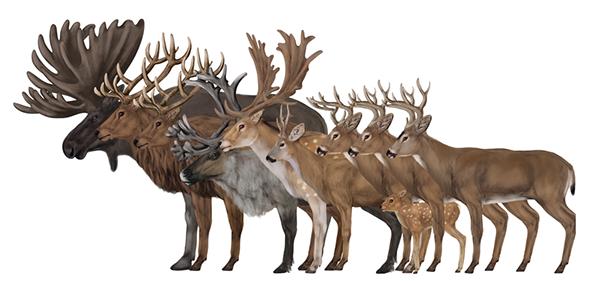 Drawn reindeer majestic Point: for Deer Illustration Zagrobelna
