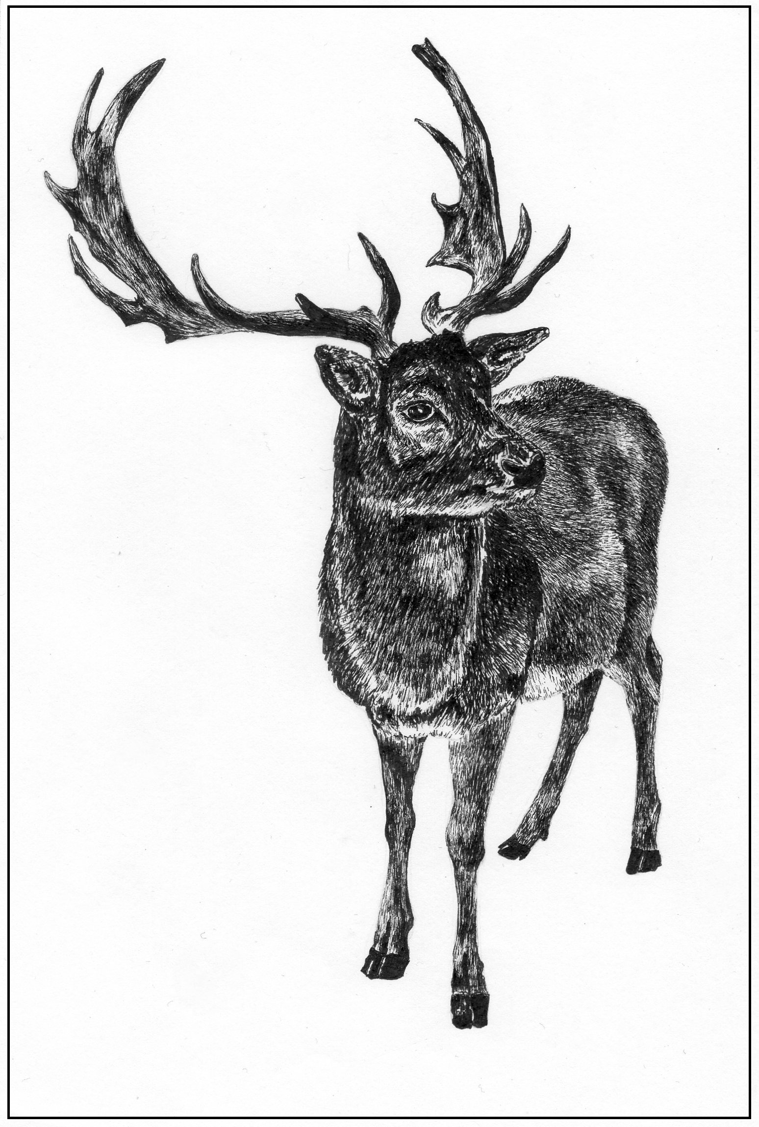 Drawn reindeer pen and ink Com  Four legs nickockenden