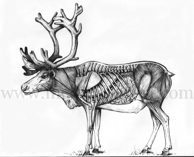 Drawn reindeer pen and ink  Traditional Internal and Hand