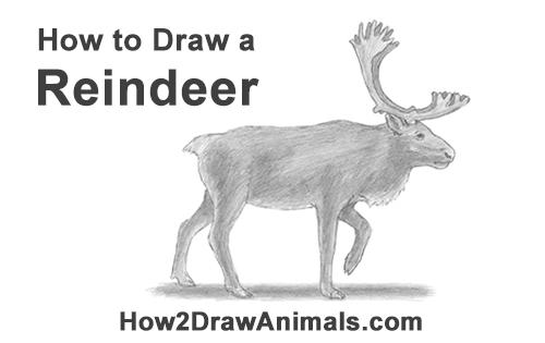 Drawn reindeer realistic (Caribou) Draw Reindeer to Reindeer