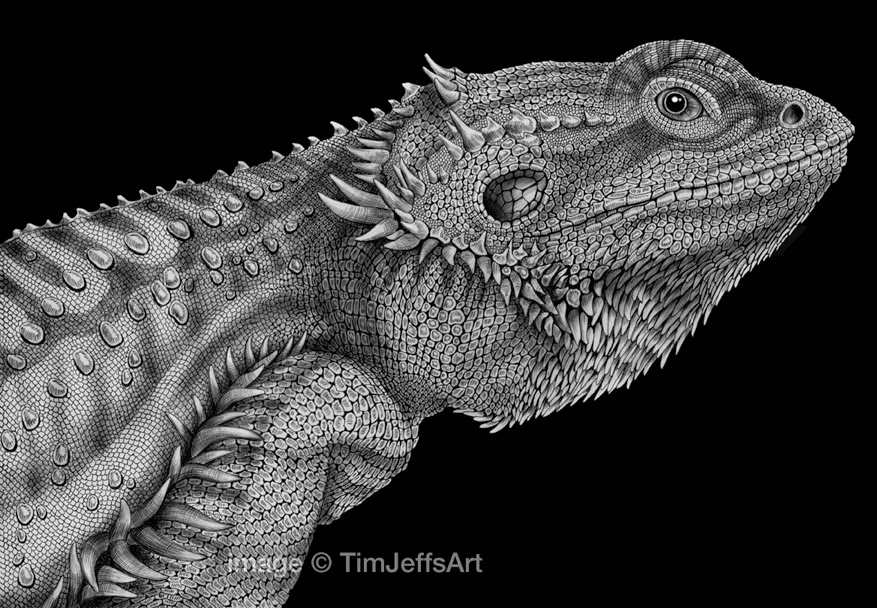 Drawn reptile bearded dragon Art Ink Bearded and Tim