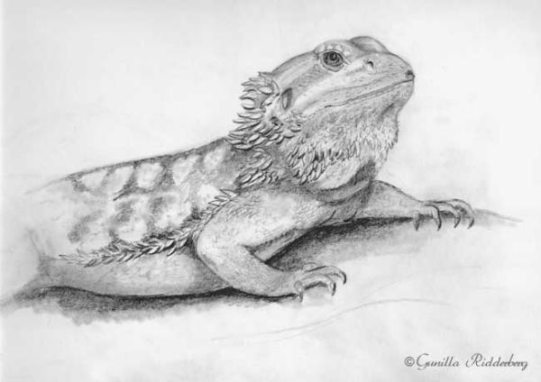 Drawn reptile bearded dragon Artwork com dragon Drawing kingsnake
