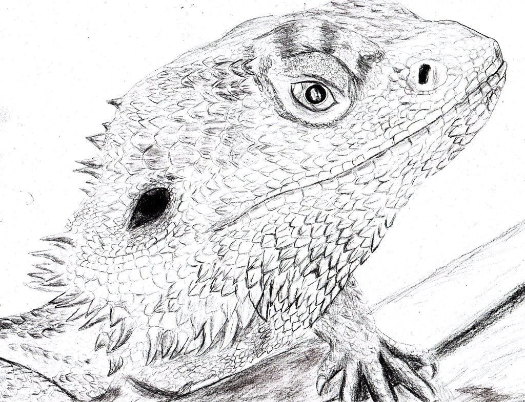 Drawn reptile bearded dragon Blossom Dragon Bearded Bearded Wallpapers