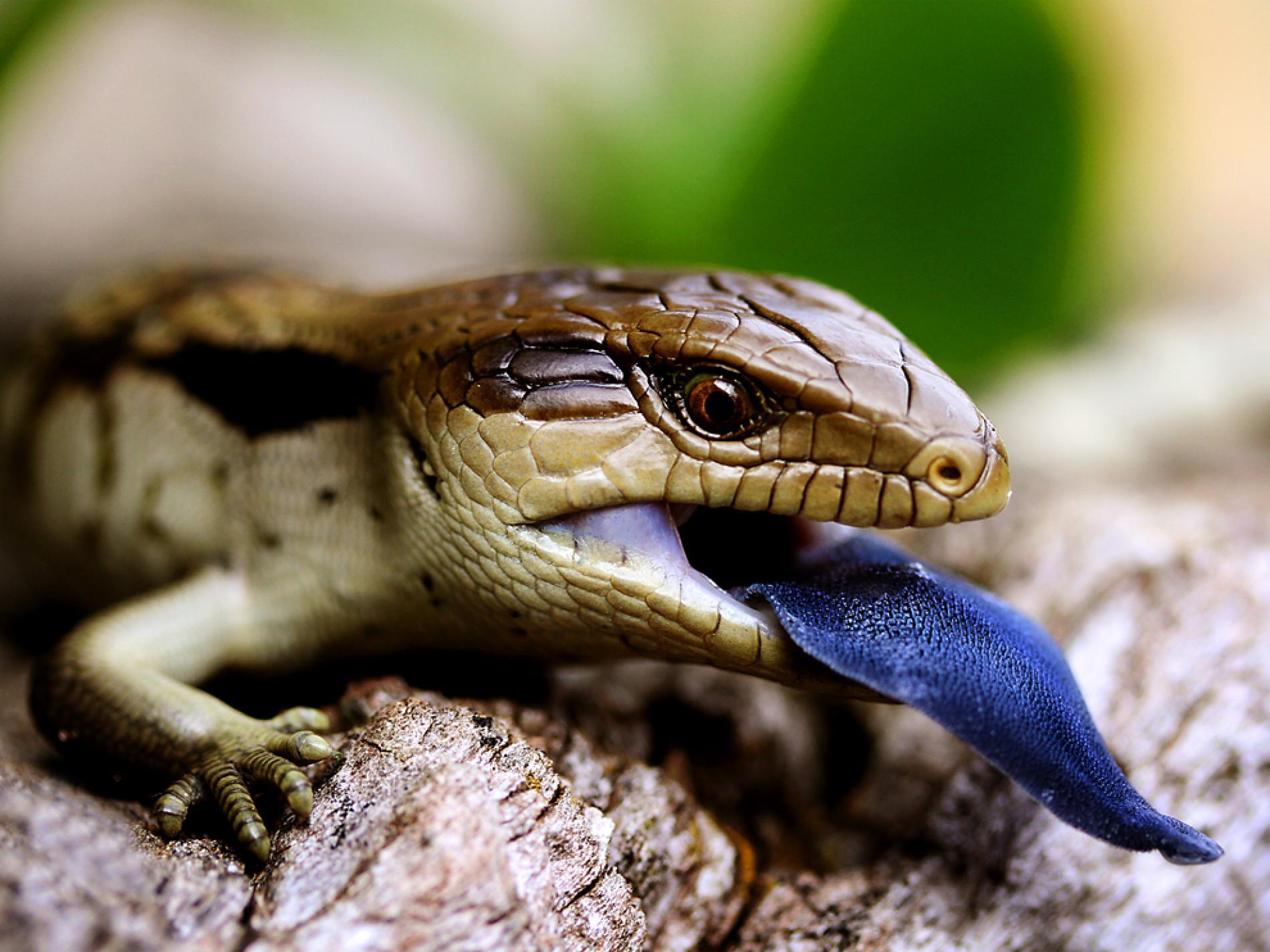Drawn reptile blue tongue lizard  Lizard Blue Australia Tongue