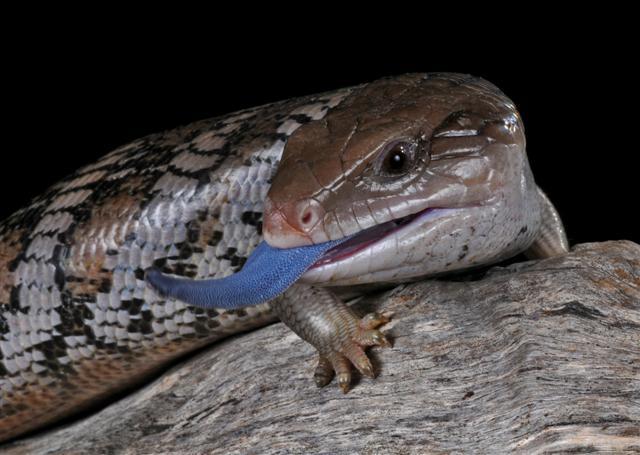 Drawn reptile blue tongue lizard Blue lizard Blue naomisamazinganimalblog Tongue