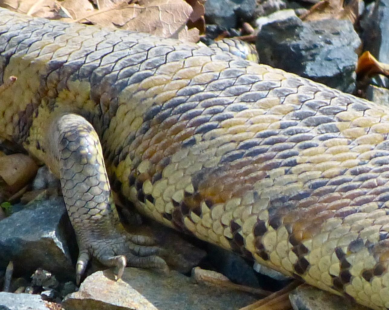Drawn reptile blue tongue lizard Blue blue « margosnotebook tongue