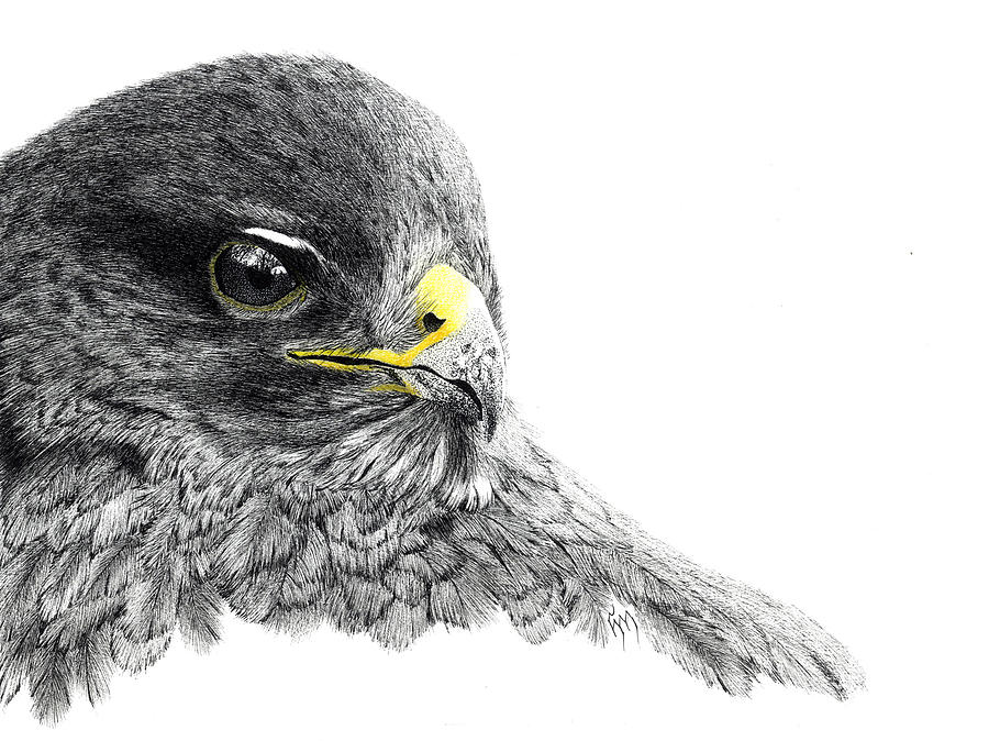 Drawn reptile buzzard Messelink Hanneke Hanneke Drawing Buzzard