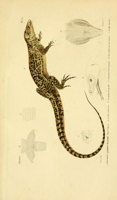 Drawn reptile buzzard Com ArtsCult Lizards naturelle Lizard