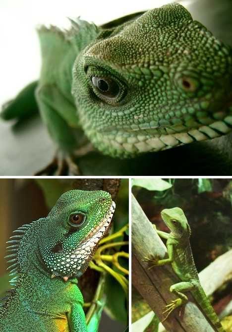 Drawn reptile chinese water dragon 101 Water on Pinterest Animal
