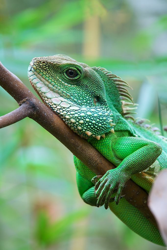 Drawn reptile chinese water dragon Is Pinterest agamid water on