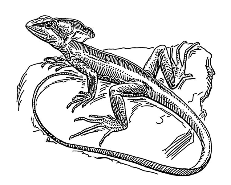 Drawn reptile garden lizard Eagle Old Lizard Daily (1900)