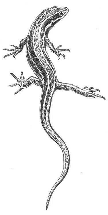 Drawn reptile garden lizard Western Society Reptiles Allies: skink