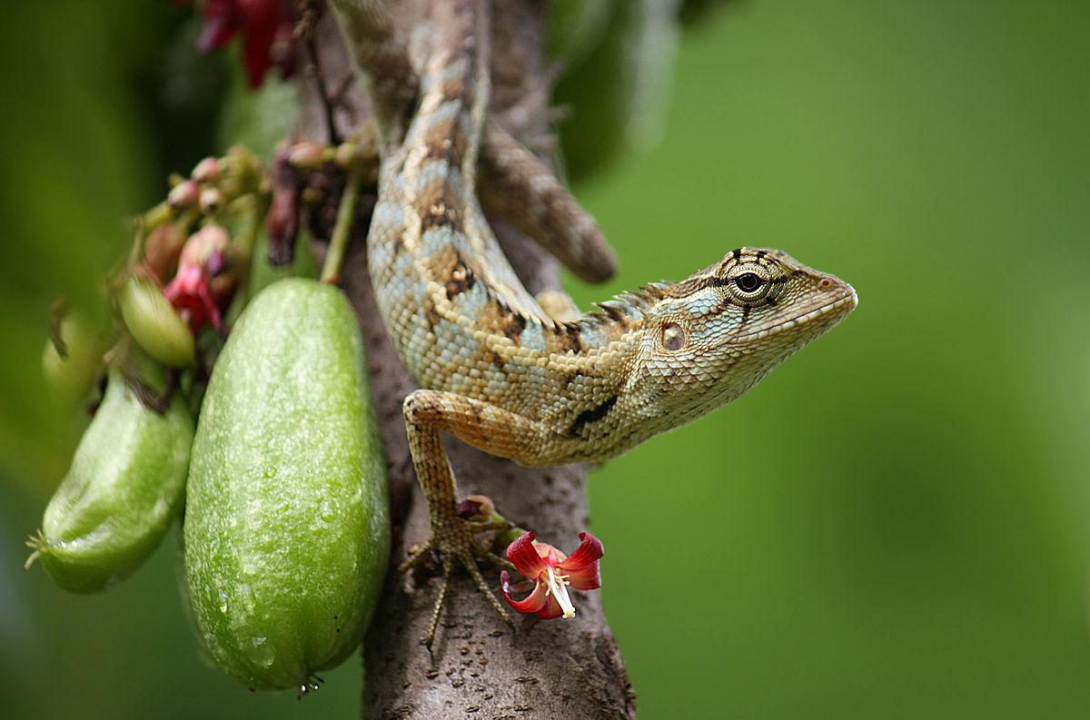 Drawn reptile garden lizard  Oriental garden lizard Wikipedia