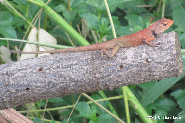 Drawn reptile garden lizard Of Changeable Lizard Amphibians Bangkok