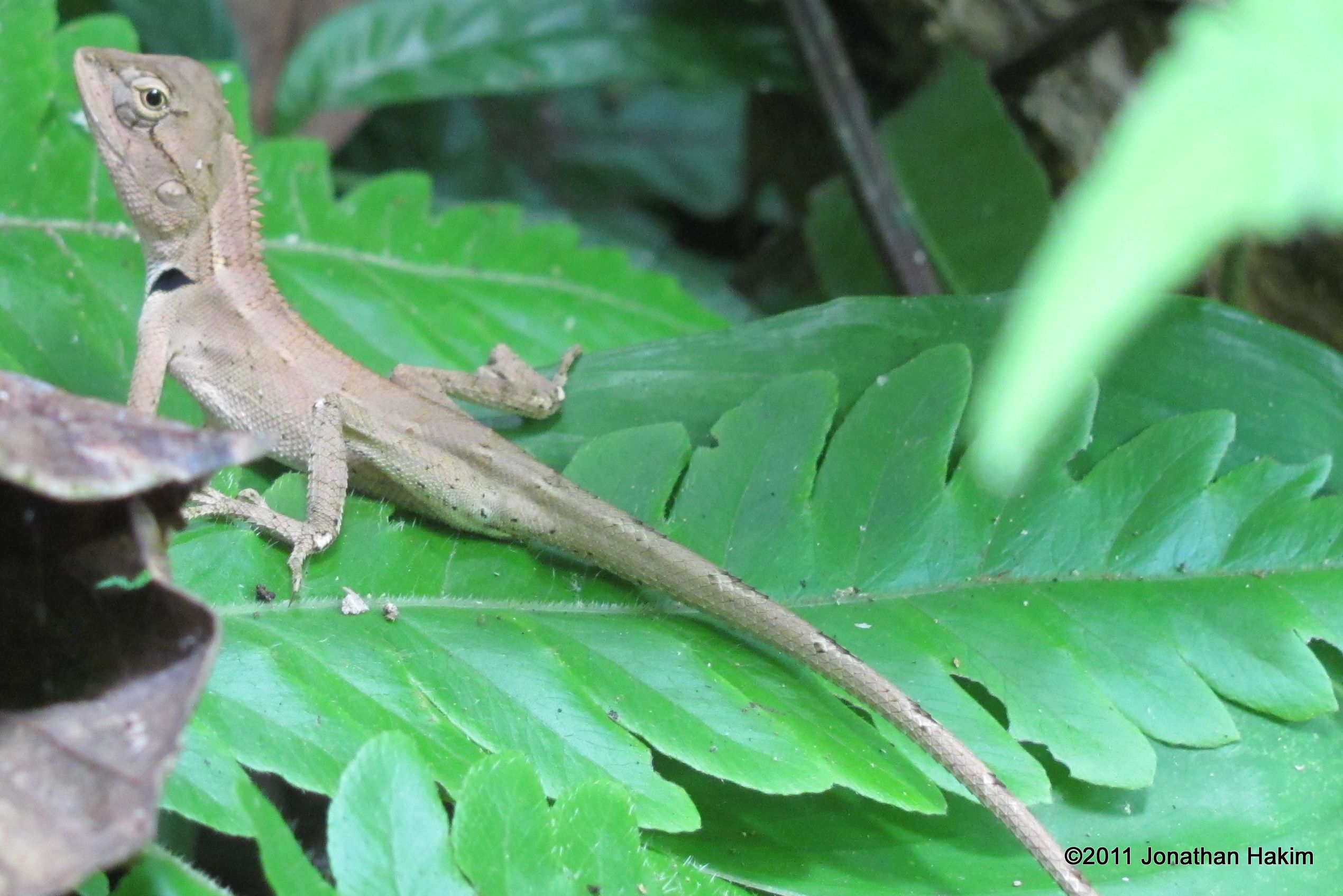 Drawn reptile garden lizard Amphibians Oriental Garden and of