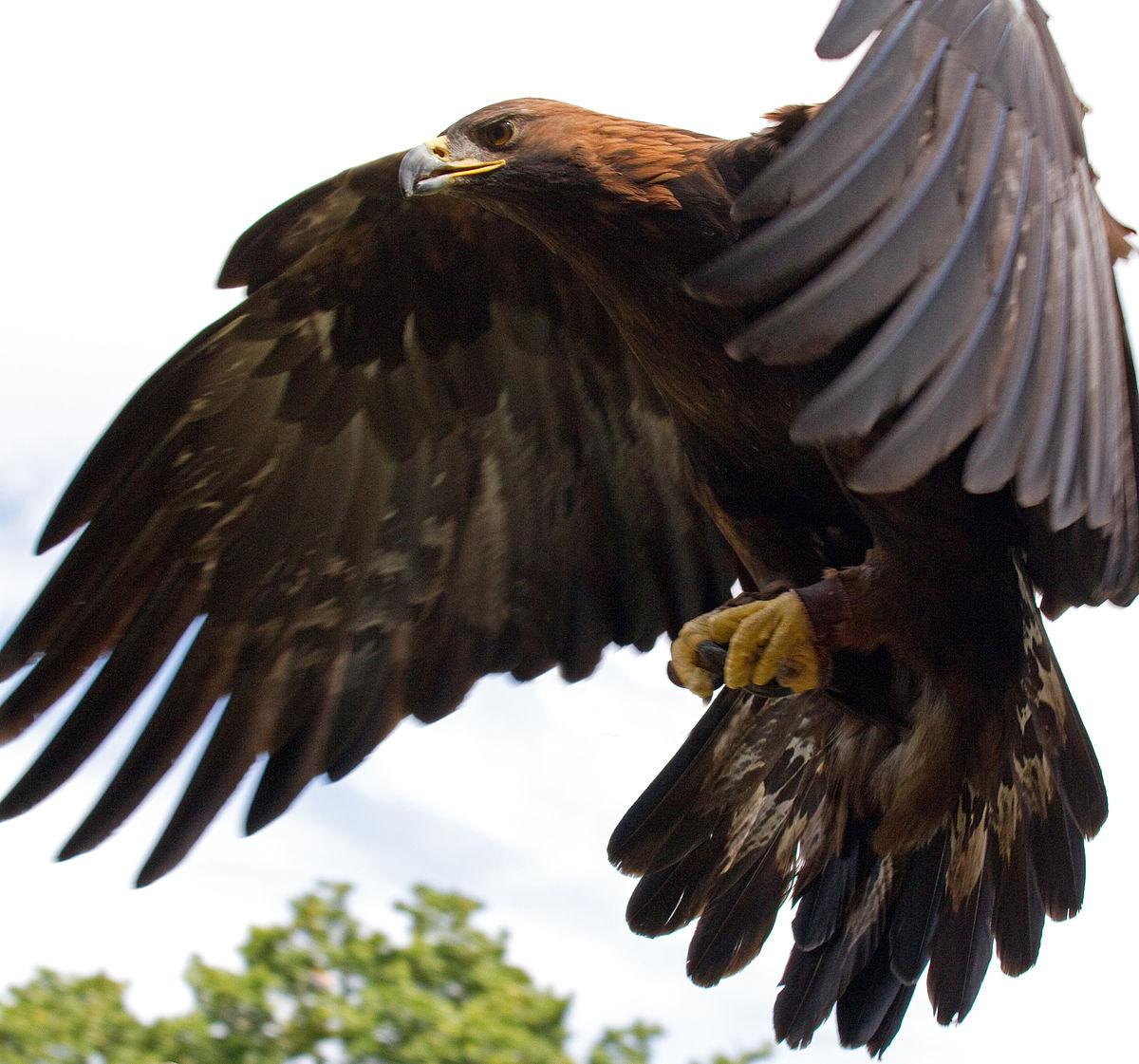 Drawn reptile golden eagle In culture  human Wikipedia