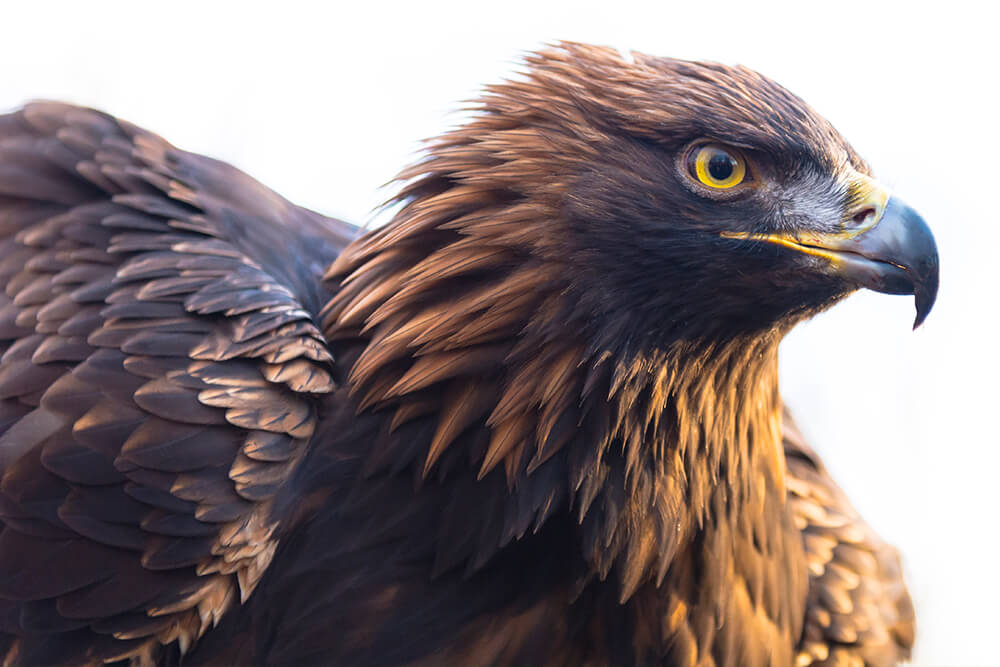 Drawn reptile golden eagle Get can its A to