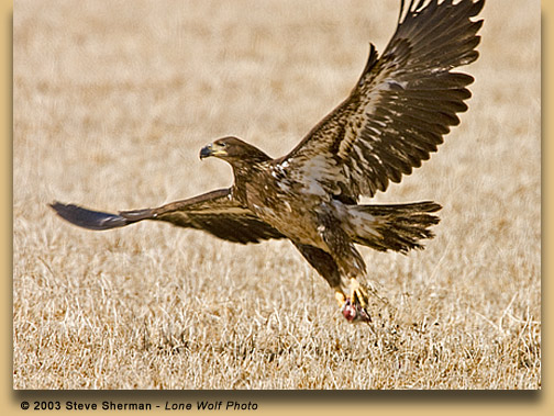 Drawn reptile golden eagle Two Discovering golden Eagles ®