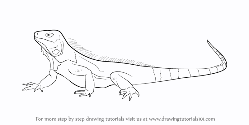 Drawn reptile iguana Learn Step Drawing to :