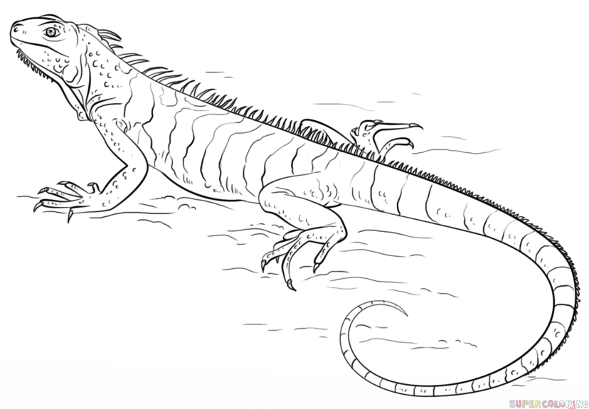 Drawn reptile iguana How step to an Step