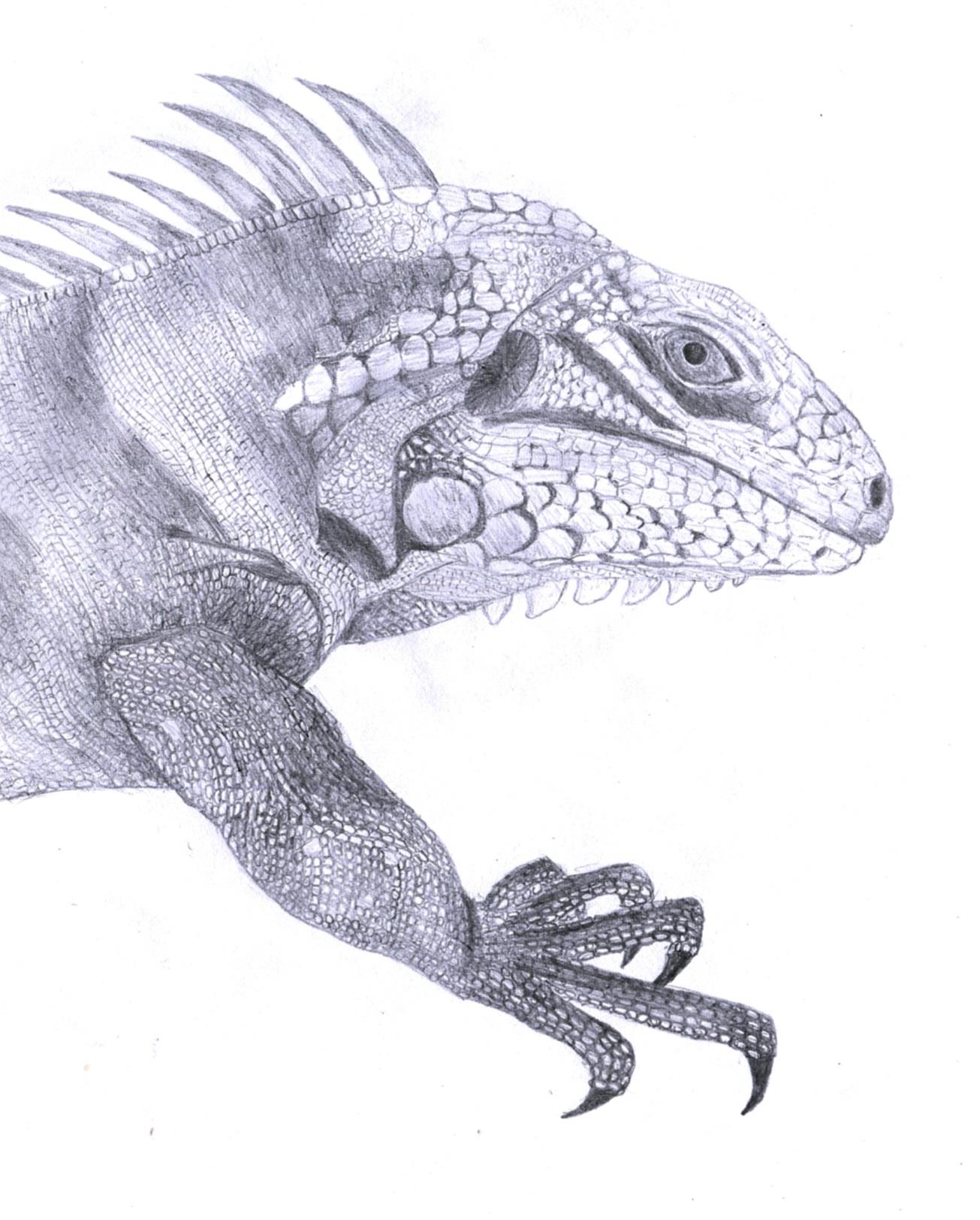 Drawn reptile iguana Iguana on Iguana The by