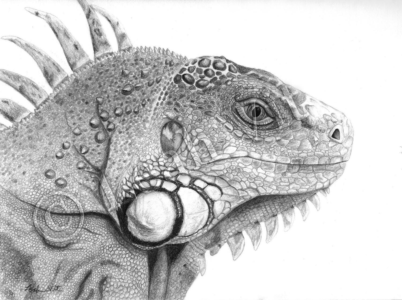 Drawn reptile iguana Drawings photo#20 Drawings Reptiles Reptiles