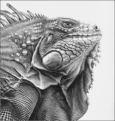Drawn reptile iguana Http://kleurvitality :D  Iguana be