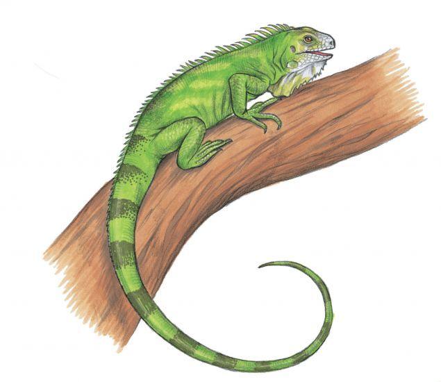 Drawn reptile iguana Iguana green Pinterest iguana 77