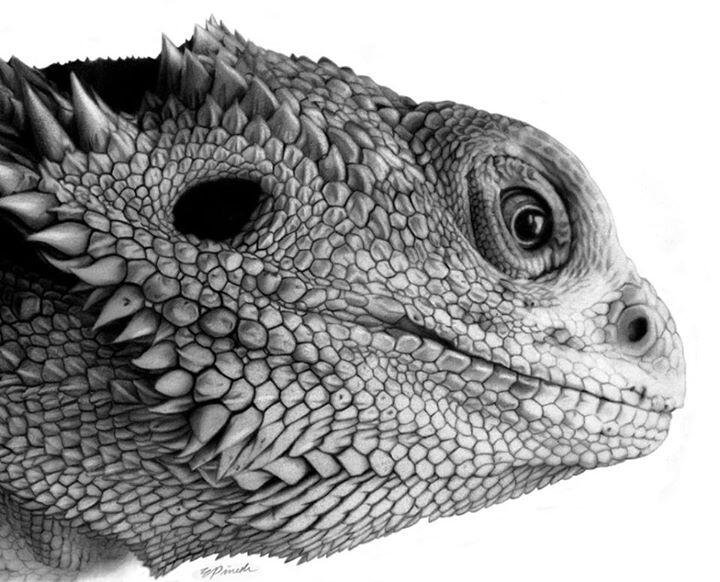 Drawn reptile lizard head And Dragon Bearded Bearded Reptiles