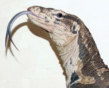 Drawn reptile monitor lizard To lizards Charismatic  monitor