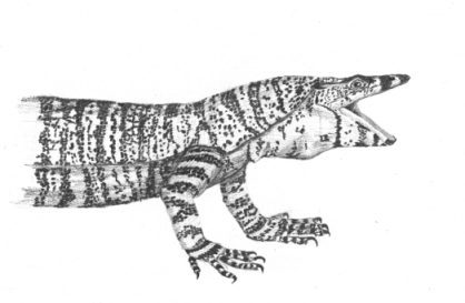 Drawn reptile monitor lizard Wildlife Powell Drawing Lace Devil