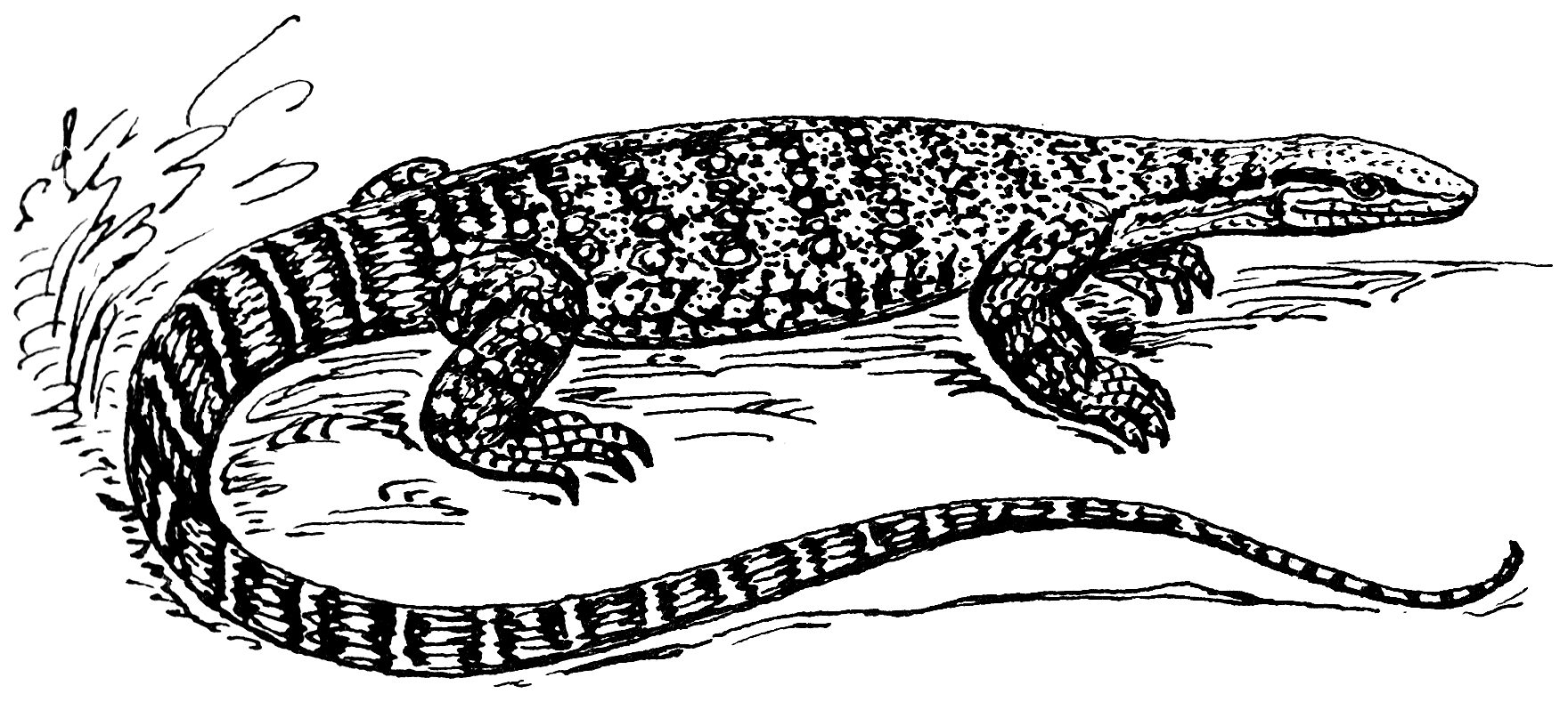 Drawn reptile monitor lizard Wikimedia png File:Monitor (PSF) png