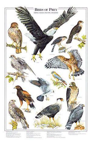 Drawn reptile raptor bird Flesh eat birds of prey