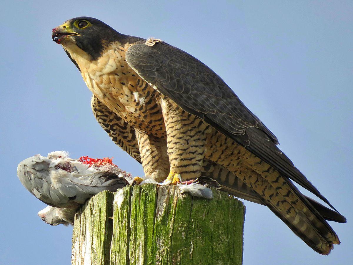 Drawn reptile raptor bird Falcon Wikipedia Peregrine