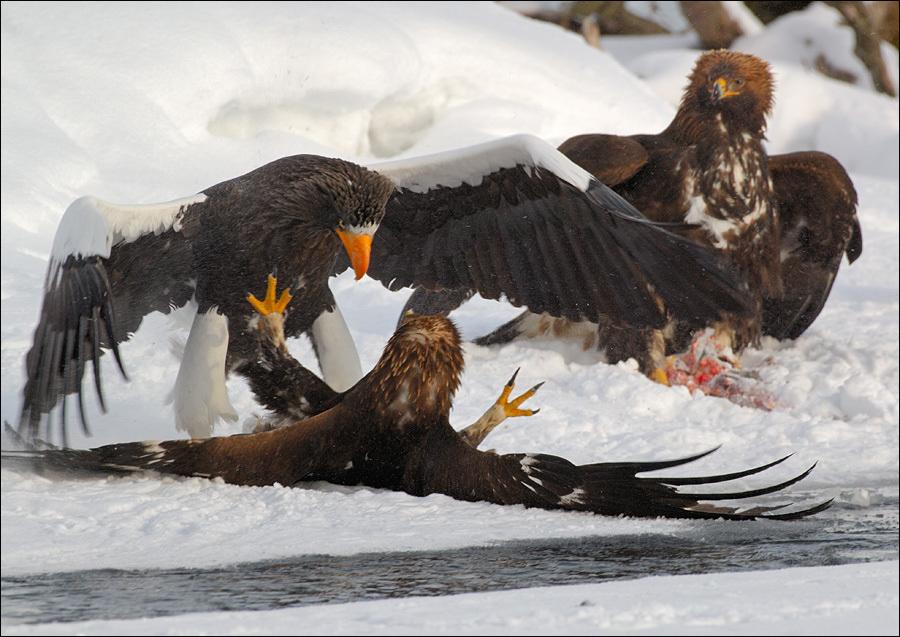 Drawn reptile sea eagle And steller's igor igor eagle