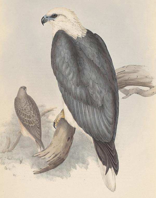 Drawn reptile sea eagle Eagle leucogaster Eagle Sea White