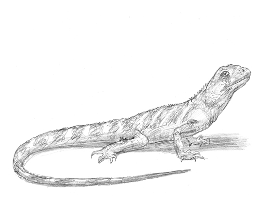 Drawn reptile small How a to Lizard G