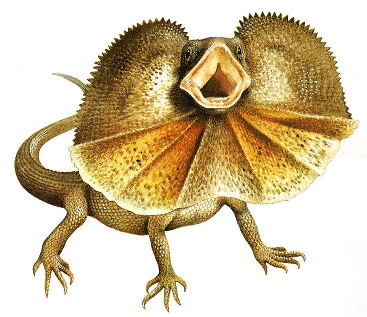 Drawn reptile yellow spotted Best frill necked lizard images